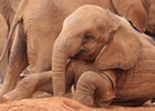 young elephant orphan