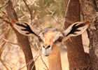Gerenuk with EARS