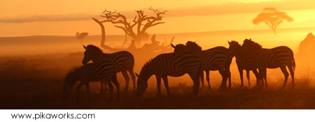 Zebra Sunrise