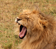 lion yawning just like a cat
