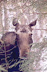 Click to see moose photos for sale.